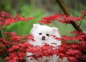 春天里超美博美小狗狗图片