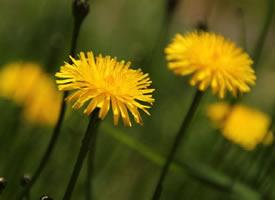 黄色好看的蒲公英花开图片