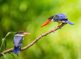 乖巧蓝翡翠鸟惹人爱