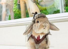 宠物兔制服造型秀图片