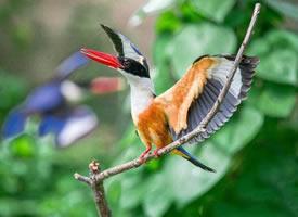 一组可爱的蓝翡翠鸟图片