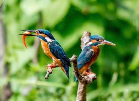 乖巧灵动的翠鸟图片