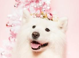 有着甜甜笑容的萨摩耶图片
