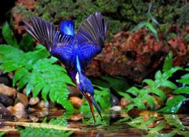 惹人喜爱的蓝翡翠鸟图片