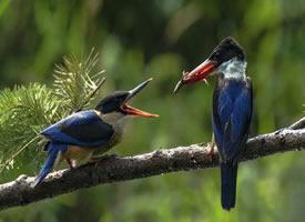温顺漂亮的蓝翡翠鸟图片