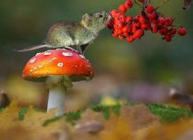一组吃果果的可爱老鼠图片