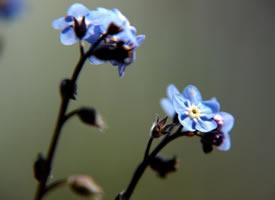 一组宁静蓝色的勿忘我图片
