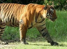一组强壮的老虎图片欣赏