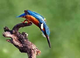 自在生活的蓝翡翠鸟图片