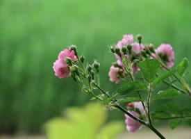 五月的美好  温柔几许的蔷薇
