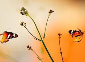花朵上徘徊的蝴蝶图片欣赏
