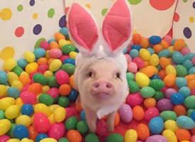 一组蠢萌蠢萌的可爱小猪猪