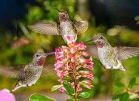 一组精彩绝伦的蜂鸟图片