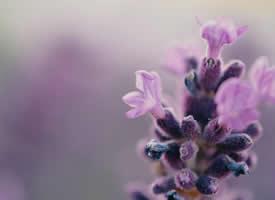 紫色薰衣草高清桌面壁纸