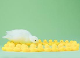 一组超可爱干净的小鸭子写真