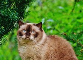 体形圆胖的暹罗猫图片