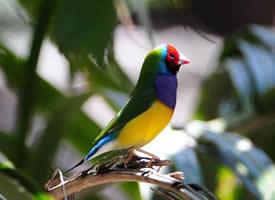 美丽的七彩文鸟图片
