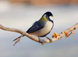 与树枝为伴的大山雀