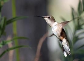 飞行嗡嗡作响的蜂鸟图片