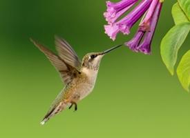 小巧可爱的蜂鸟图片