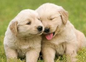 一组可爱金毛幼犬图片欣赏