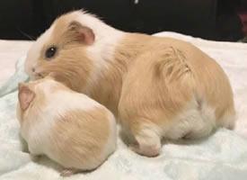 有小孩子的荷兰猪图片