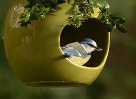观赏鸟蓝山雀图片