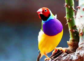 可爱的七彩文鸟图片