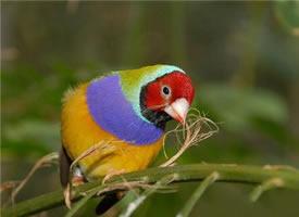 颜色好看的七彩文鸟图片