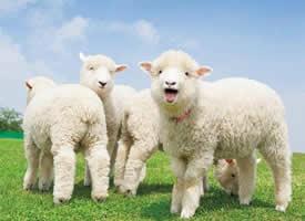 绿地上超可爱治愈的小羊