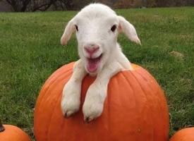 一组可爱活泼的小绵羊