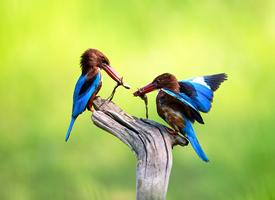 觅食的白胸翡翠鸟图片