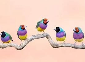 惹人喜爱的七彩文鸟图片