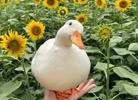一组憨厚可爱的小鸭子图片