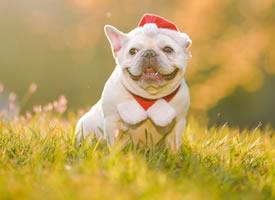 笑容超治愈的斗牛犬图片
