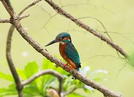 美丽的翠鸟图片