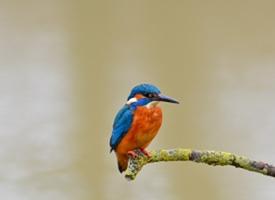 体羽艳丽的斑头大翠鸟图片