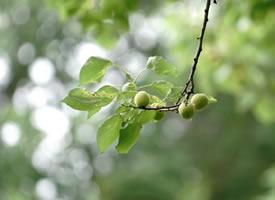 挂在树上青涩的杏子图片