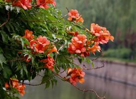 红黄萼凌霄,满树繁花开