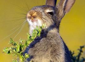 一只小兔子饥不择食的吃草