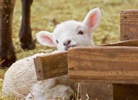 一组超可爱奶萌的小羊