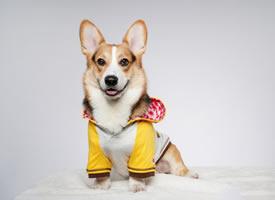 穿着小衣服的柯基狗狗图片