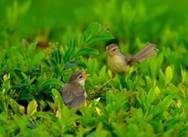 两只可爱的小柳莺图片