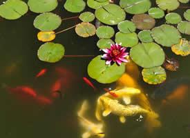 荷花下的锦鲤图片