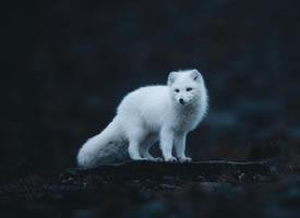 一组仙气十足的小白狐图片