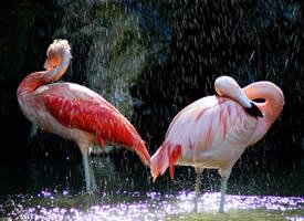 微距火烈鸟摄影图片