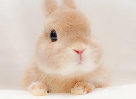 萌萌哒小可爱,奶凶奶凶的小兔子
