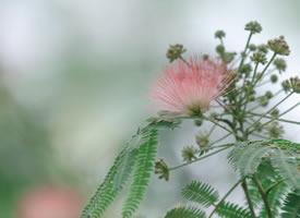 丝绸般的美丽,香气怡人合欢花