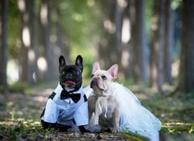 拍甜蜜婚纱照的法斗图片
