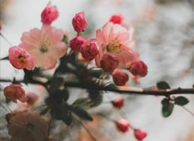 一组迷乱的感觉的海棠花图片